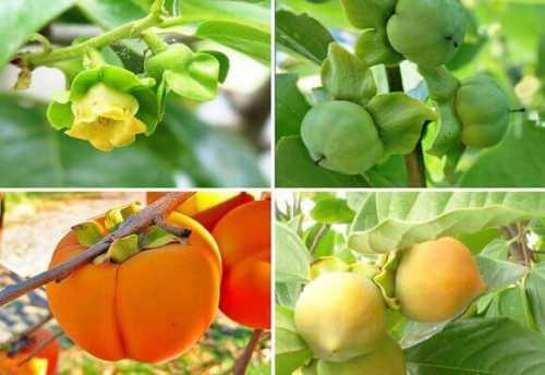 пекинская капуста: уход и выращивание в открытом грунте