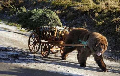 колли шотландская овчарка: стандарт породы